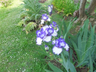 Iris in Bardini Gardens, Florence, Italy