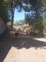 Goat run on via Appia Antica